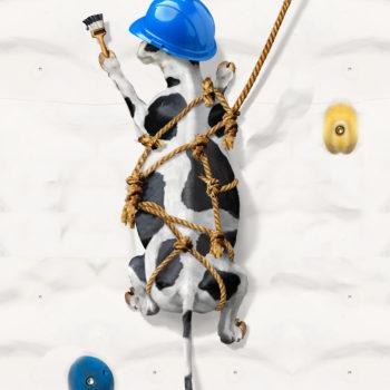 Rock Climbing Cow